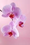Flores rosadas de la orquídea en un fondo en colores pastel Imagen de archivo libre de regalías