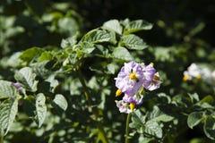 Flores rosadas de la patata Fotografía de archivo libre de regalías