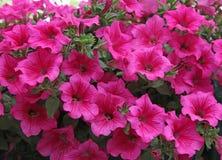 Flores rosadas de la petunia Imágenes de archivo libres de regalías
