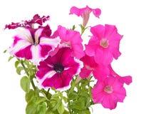 Flores rosadas de la petunia Fotografía de archivo