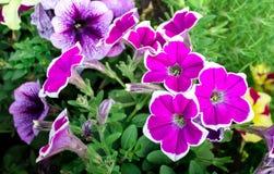 Flores rosadas de la petunia con el ribete blanco imagenes de archivo