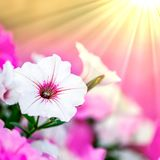 Flores rosadas de la petunia libre illustration