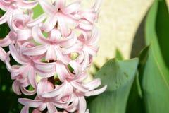 Flores rosadas de la primavera Imagen de archivo