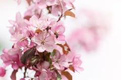 Flores rosadas de la primavera con la abeja Fotografía de archivo