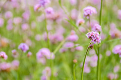Flores rosadas de la verbena Imágenes de archivo libres de regalías