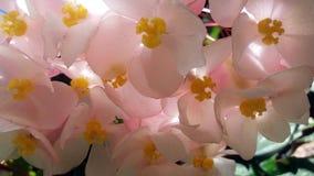 Flores rosadas de las begonias Fotos de archivo libres de regalías