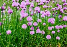 Flores rosadas de las cebolletas, schoenoprasum del allium Imagen de archivo