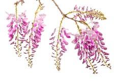 Flores rosadas de las glicinias Imagen de archivo