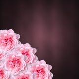 Flores rosadas de las rosas con el fondo coloreado de la textura del degradee, marco, cierre para arriba Fotos de archivo