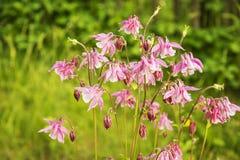 Flores rosadas de los colombines Fotografía de archivo