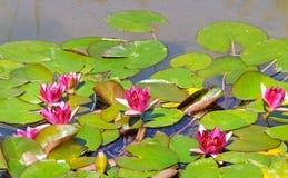 Flores rosadas de los lirios de agua Foto de archivo libre de regalías