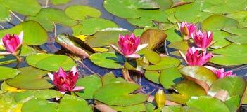 Flores rosadas de los lirios de agua Fotografía de archivo libre de regalías