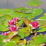 Flores rosadas de los lirios de agua Imágenes de archivo libres de regalías
