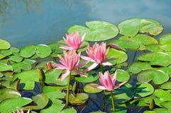 Flores rosadas de los lirios de agua en la charca Fotografía de archivo libre de regalías