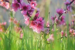 Flores rosadas de los melocotones Fotos de archivo libres de regalías