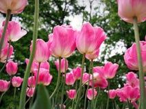 Flores rosadas de los tulipanes Foto de archivo