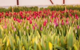 Flores rosadas de los tulipanes Ornamental y flores crecientes para el diseño y los regalos del paisaje Foto de archivo libre de regalías
