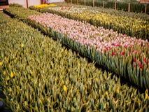 Flores rosadas de los tulipanes Ornamental y flores crecientes para el diseño y los regalos del paisaje Imagen de archivo