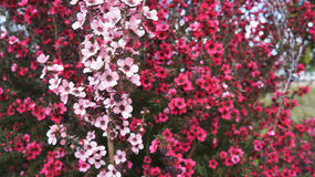 Flores rosadas de Manuka crecidas en Nueva Zelanda Fotos de archivo libres de regalías