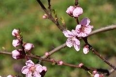 Flores rosadas de nectarinas imágenes de archivo libres de regalías
