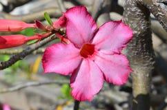 Flores rosadas de Obesum del Adenium en Tailandia imagen de archivo