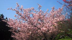 Flores rosadas de Sakura del flor en Taiwán durante primavera foto de archivo