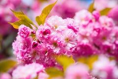 Flores rosadas de Sakura y hojas verdes grandes Imagen de archivo libre de regalías