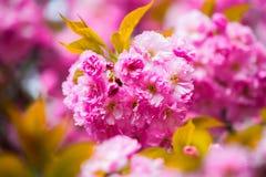 Flores rosadas de Sakura y hojas verdes grandes Foto de archivo libre de regalías