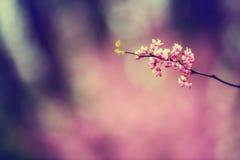 Flores rosadas del árbol Fotos de archivo libres de regalías