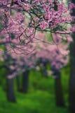 Flores rosadas del árbol Foto de archivo libre de regalías