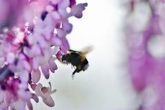 Flores rosadas del árbol de Judas con el abejorro en vuelo Fotos de archivo libres de regalías