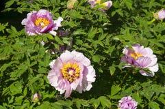 Flores rosadas del árbol de la peonía Foto de archivo