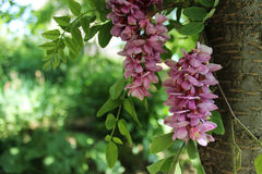 Flores rosadas del acacia Imagenes de archivo