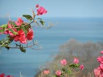 Flores rosadas del adelfa con el fondo azul del océano Fotografía de archivo libre de regalías