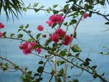 Flores rosadas del adelfa con el fondo del agua azul Imagen de archivo libre de regalías