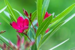 Flores rosadas del adelfa y primer verde de las hojas en fondo verde borroso estupendo imagenes de archivo