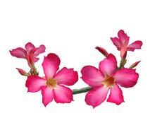 Flores rosadas del adenium Foto de archivo libre de regalías