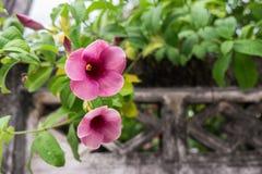 Flores rosadas del Allamanda con hormigón viejo de la pared Imagenes de archivo