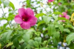 Flores rosadas del Allamanda en jardín verde Fotografía de archivo