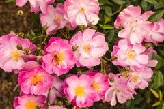 Flores rosadas del arbusto color de rosa Imágenes de archivo libres de regalías