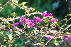 Flores rosadas del arbusto color de rosa del perro en día de primavera soleado Imágenes de archivo libres de regalías