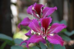 Flores rosadas del Bauhinia en el jardín fotos de archivo libres de regalías