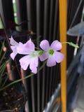 Flores rosadas del bebé foto de archivo libre de regalías