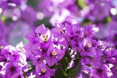 Flores rosadas del bougainvillea Foto de archivo libre de regalías