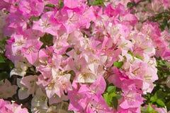 Flores rosadas del bougainvillea Imágenes de archivo libres de regalías