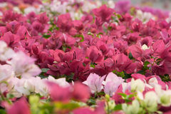 Flores rosadas del bougainvillea Imagen de archivo libre de regalías