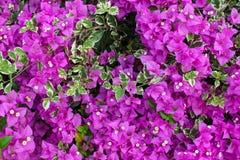 Flores rosadas del bougainvillea Fotografía de archivo