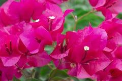 Flores rosadas del bougainvillea Fotos de archivo libres de regalías