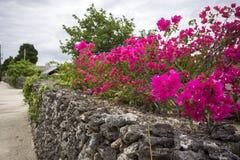 Flores rosadas del bougainvillea fotos de archivo
