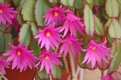 Flores rosadas del cacto Foto de archivo